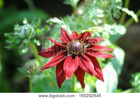 A red pink dahlia which is a popular late flowering autumn half hardy, herbaceous garden perennial plant