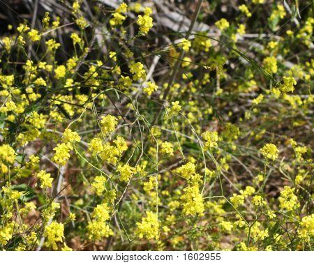 Wild Mustard Close-Up