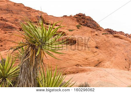 Yucca plant in front of a rock ridge at Red Rock Canyon National Conservation Area near Las Vegas Nevada. Natural desert scene.