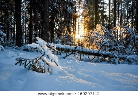 Sapling pine on background of fallen, broken pine in rays of sun