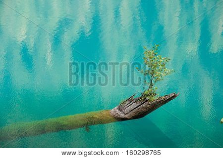 A new beginning. The sapling growing from a rotten tree fallen into the lake. Small Ritsa, Abkhazia