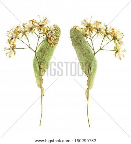 Pressed and dried flower Linden photographed from the front and the back side flower. Isolated on white background. For use in scrapbooking pressed floristry (oshibana) or herbarium.