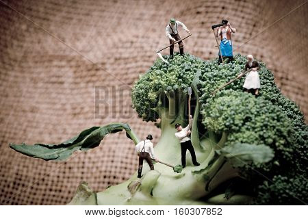 Miniature farmers crew harvesting broccoli crowns. Macro photo