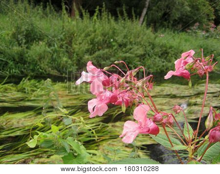 photo landscape river creek with green grass and beautiful wild pink flowers on a sunny summer day