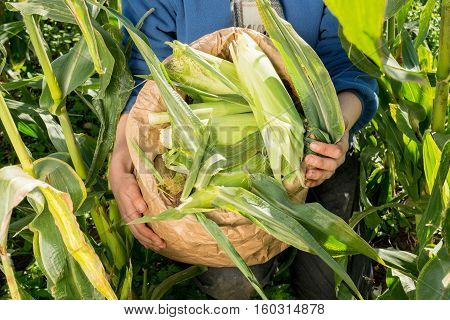 Hands Holding Bag Of Organic Corn Cobs In Field