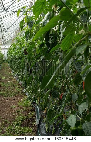 Huge Green House With Rows Of Organic Peppers Growing