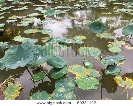 a pond with lots of lotuses, muddy green water, leaves lie on the water drops, the water reflected the sky and trees