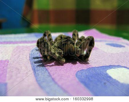 Dead spider with hairy legs. Tarantula lycosa singolariensis.