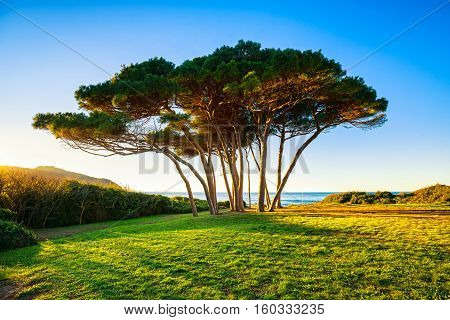 Maritime Pine tree group near sea and beach on sunset. Baratti Maremma Piombino Tuscany Italy.