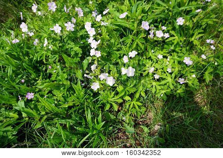Anemone flowers bloom in Joliet, Illinois during May,