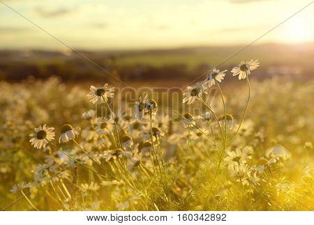 Marguerites on meadow at sunset. Spring landscape.