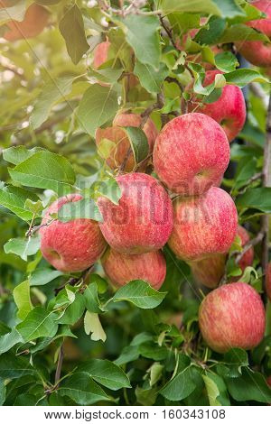 Garden Apple at Fukushima city in Japan