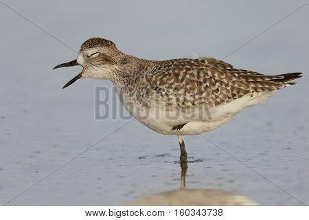 Black-bellied Plover In Non-breeding Plumage - St. Petersburg, Florida