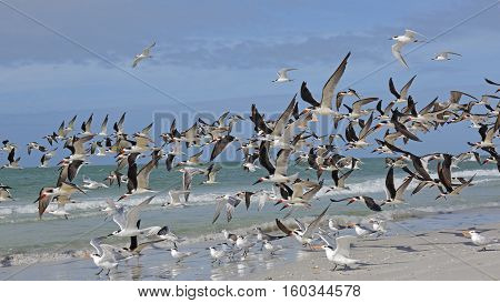 Flock Of Black Skimmers Taking Flight - Florida