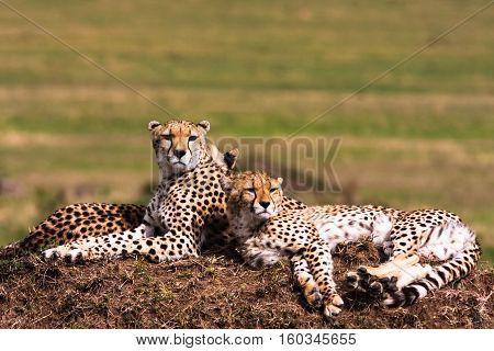 Cheetahs on the hill. Masai Mara, Kenya