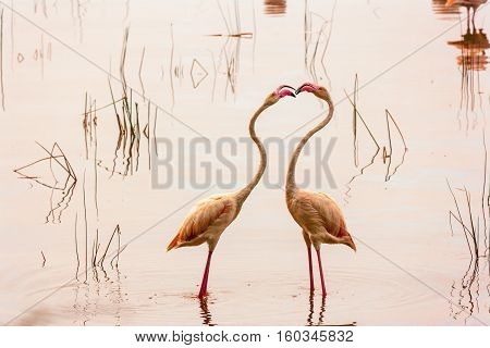 Dancing flamingos at Lake Nakuru. Kenya, Africa