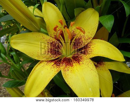 Blooming Yellow and Brown Lily Flower with Orange Pollen