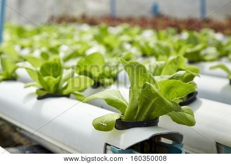 Green cos lettuce / Butter head hydroponics vegetable farm