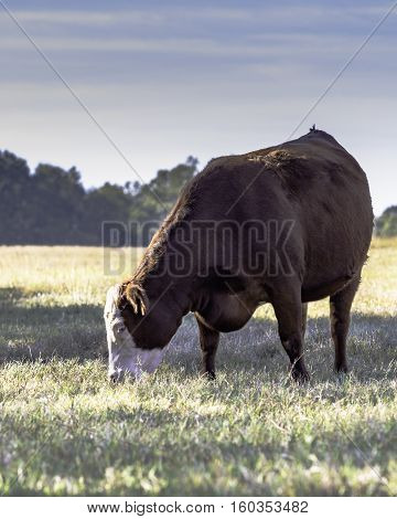 Commercial crossbred cow grazing in a fall pasture experiencing severe drought