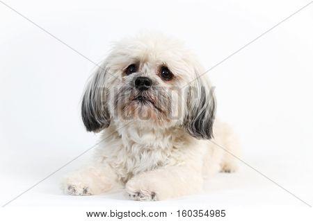 small fluffy Havanese dog portrait shot in studio on a white background