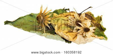 huge crumpled brown with golden and green-veined leaves of poplar filled with dry artichoke flowers