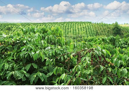 Coffee plantations in the highlands of Eastern Vietnam