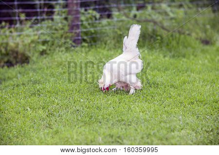 White rooster in a farm yard on a grass