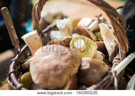 Forest picking mushrooms in wickered basket. Fresh raw mushrooms on the table. porcini or White mushroom