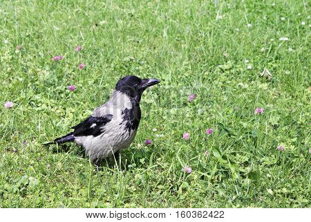 Young crow against green grass at sunny summer day. The hooded crow (Corvus cornix) also called hoodie is a Eurasian bird species in the Corvus genus. Shallow depth selective focus.