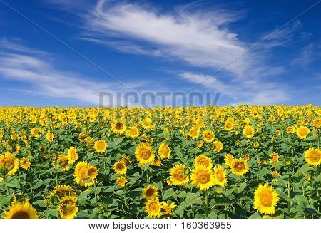 Blooming field of sunflowers and blue sky. Beautiful summer landscape sunflower field over cloudy blue sky. Sunflower field.