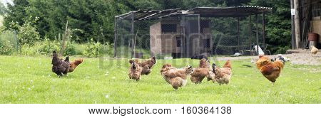 Colorful rooster and hens in a farm yard on a grass