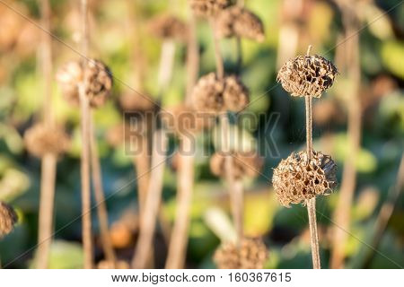 Overblown flowers of Phlomis Russelliana plants in Duivenvoorde Voorschoten Netherlands.