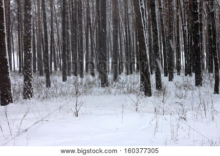 Snow covered pine trees in winter forest. Winter forest with trees. Outdoor woods nature landscape at cold day. Cold day in snowy winter forest.