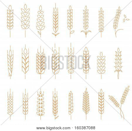 Wheat, rye and barley isolated on white background. Line style logotype template with wheat. Easy to use business template.
