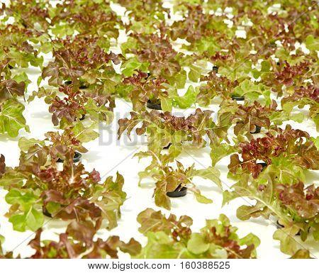 Green salad organic hydroponic farm leaf, lettuce, life