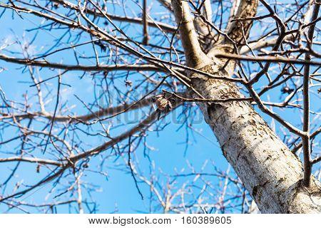 Last Nut On Bare Walnut Tree In Autumn