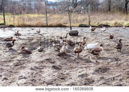 Flock Of Ducks In Poultry Yard On Village Garden