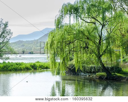 Willow at the quiet lake Fibreno in italy