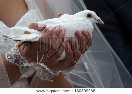 Wedding dove / Wedding dove in hands of the bride