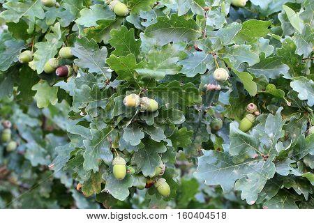 Acorns / Green Acorns on the tree .
