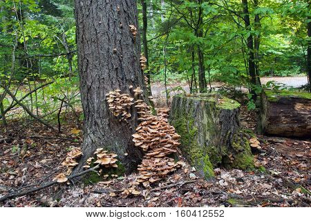 Autumn honey fungus growing on a tree trunk and stum, Hiawatha National Forest, Michigan, USA