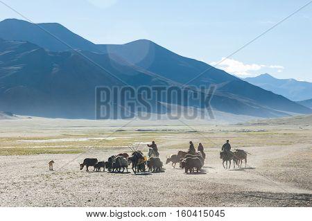 Tibetan nomads travelling with hourses and yaks. Ladakh highlands, India.