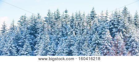 Texture winter mountain vacation panoramic banner background with pine trees covered by snow