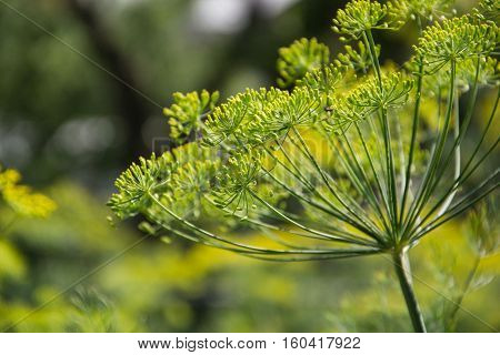 Flowering Dill Herbs Plant In The Garden (anethum Graveolens). Close Up Of Fennel Flowers