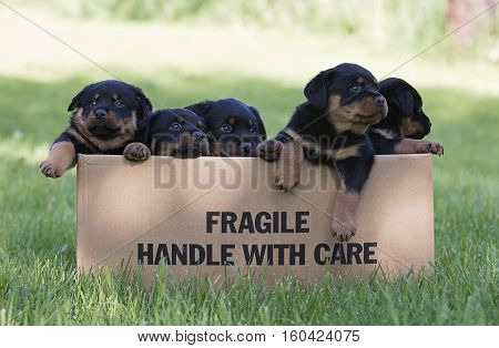 A box of young Rottweiler puppies.  Fragile!  Handle with care.