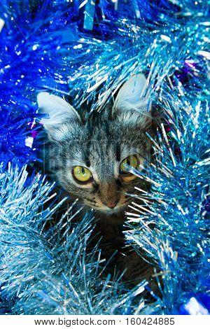 Striped Cat In The Blue Tinsel.