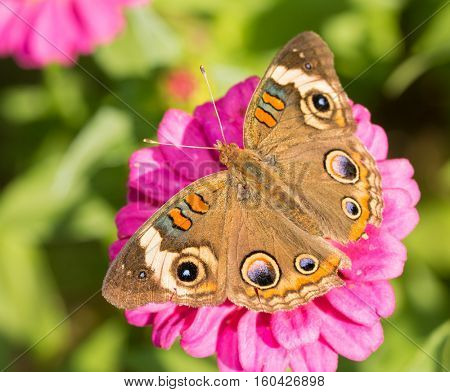 Dorsal view of a Common Buckeye butterfly on a pink Zinnia flower