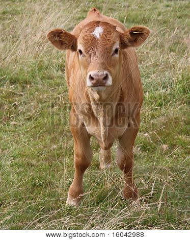 large brown cow