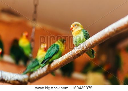 Lovebird sitting on a perch in a large cage in the background of many of the same birds.