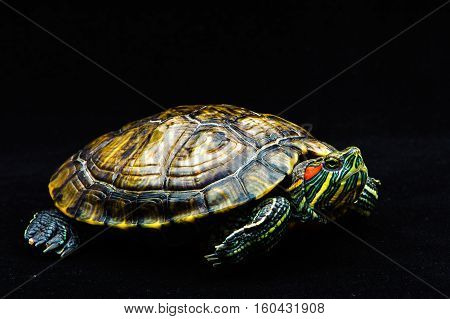 one Pond slider isolated on the black background.closeup